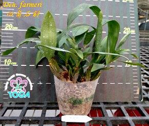 "Орхидея азиатская. Под Заказ! Den. farmeri × sib. Размер: 2.5"" / 3.5""., фото 3"