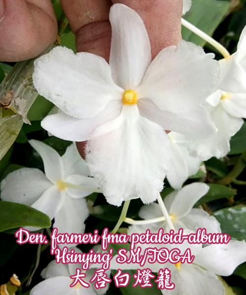 """Орхидея азиатская. Под Заказ! Den. farmeri fma petaloid-album """"Hsinying"""" SM/TOGA. Размер: 2.5""""."""