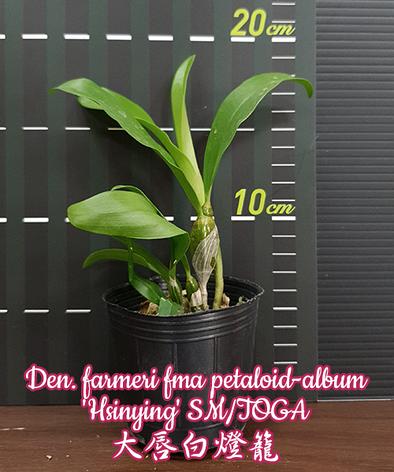 """Орхидея азиатская. Под Заказ! Den. farmeri fma petaloid-album """"Hsinying"""" SM/TOGA. Размер: 2.5""""., фото 2"""