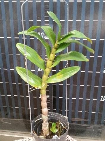 """Орхидея азиатская. Под Заказ! Den. Formidible. Размер: 2.5""""., фото 2"""