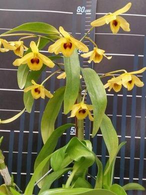 """Орхидея азиатская. Под Заказ! Den. friedericksianum × sib. Размер: 2.5""""., фото 2"""