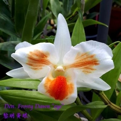 "Орхидея азиатская. Под Заказ! Den. Frosty Dawn ""eye"" (Den. formosa × Den. Dawn Hare). Размер: 1.7""."