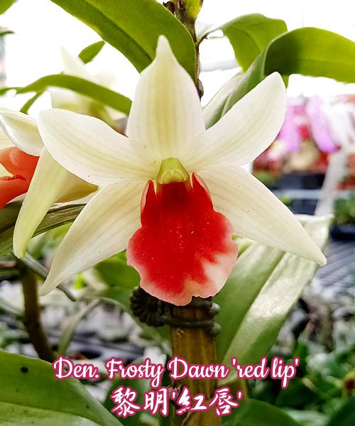 """Орхидея азиатская. Под Заказ! Den. Frosty Dawn """"red lip"""". Размер: 2.5""""."""