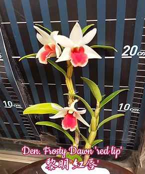 "Орхидея азиатская. Под Заказ! Den. Frosty Dawn ""red lip"". Размер: 2.5""., фото 2"