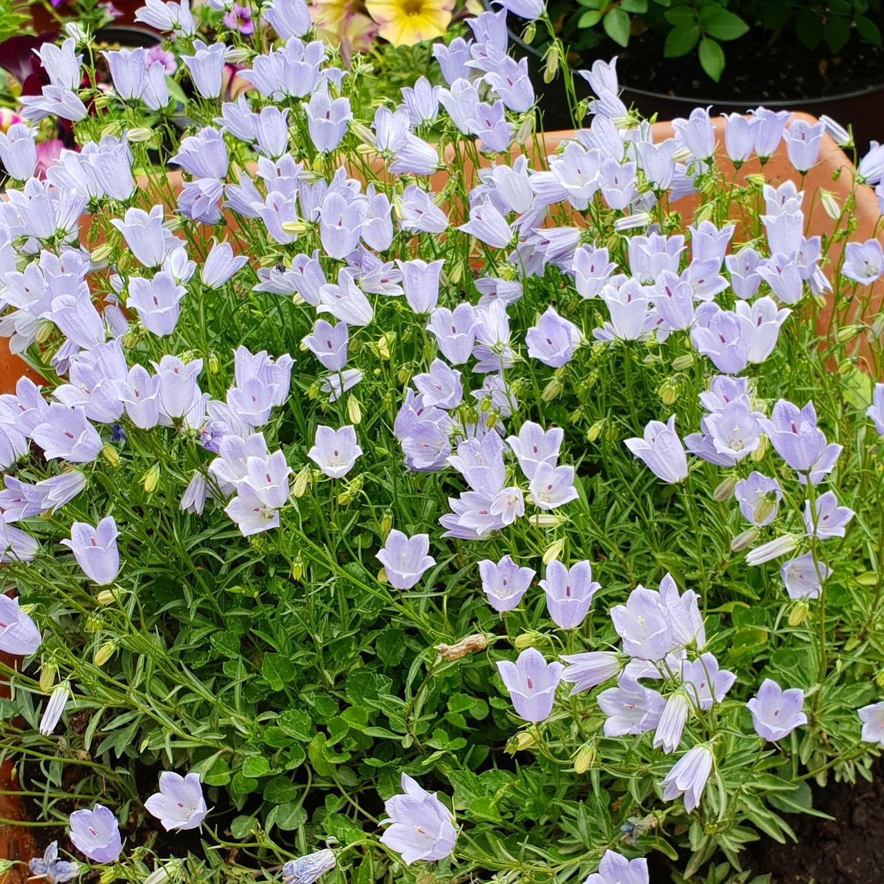 Cochleariifolia Bavaria  blue(колокольчик ложечницелистный)
