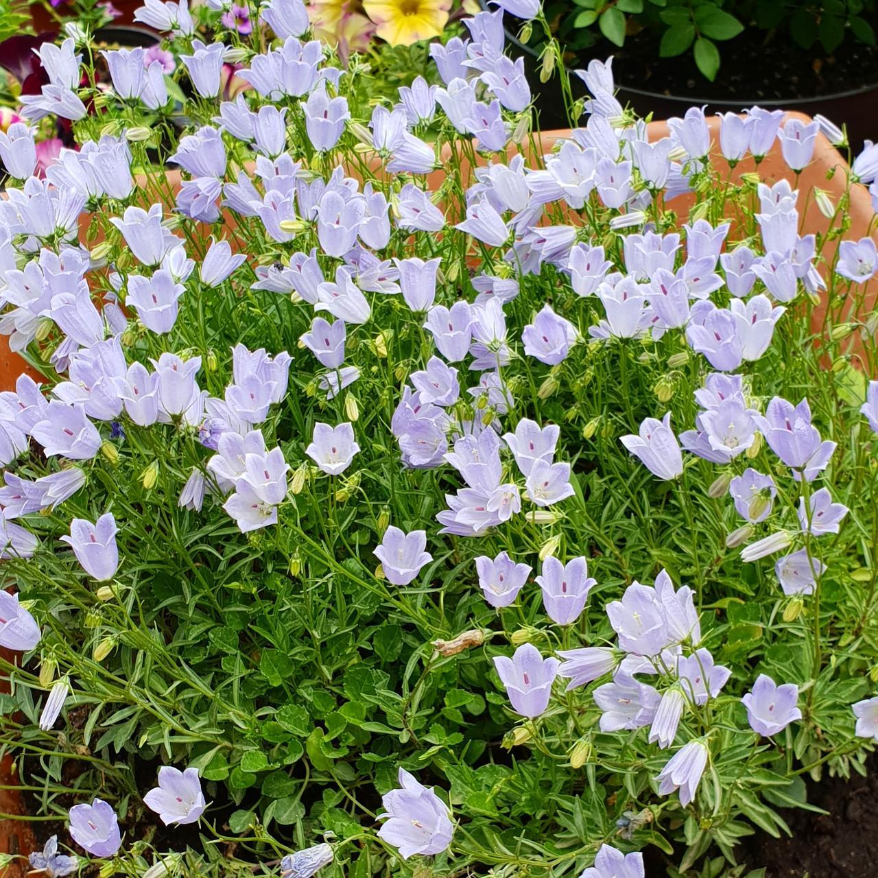 Cochleariifolia blue(колокольчик ложечницелистный)