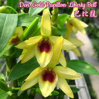 "Орхидея азиатская. Под Заказ! Den. Gold Papillon ""Liberty Bell"". Размер: 2.5""., фото 2"