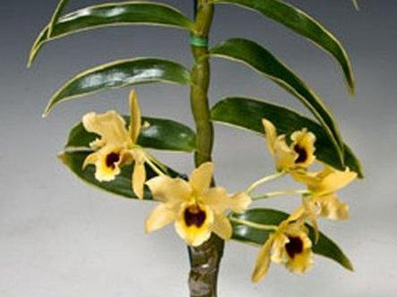 """Орхидея азиатская. Под Заказ! Den. Golden Blossom """"Marginata"""". Размер: 1.7""""., фото 2"""