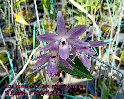 """Орхидея азиатская. Под Заказ! Den. gonzalesii × Den. victoriae-reginae. Размер: 2.5""""."""