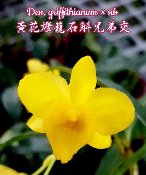 "Орхидея азиатская. Под Заказ! Den. griffithianum × sib. Размер: 2""."