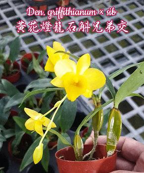 "Орхидея азиатская. Под Заказ! Den. griffithianum × sib. Размер: 2""., фото 2"