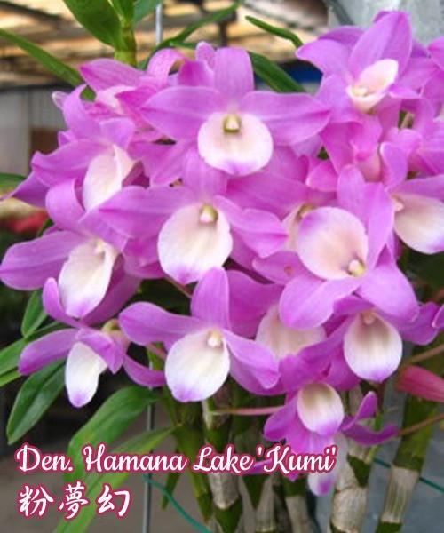 """Орхидея азиатская. Под Заказ! Den. Hamana Lake """"Kumi"""". Размер: 1.7"""" / 2.5""""."""