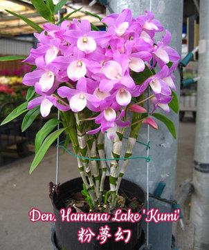 """Орхидея азиатская. Под Заказ! Den. Hamana Lake """"Kumi"""". Размер: 1.7"""" / 2.5""""., фото 2"""