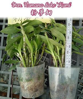 """Орхидея азиатская. Под Заказ! Den. Hamana Lake """"Kumi"""". Размер: 1.7"""" / 2.5""""., фото 3"""