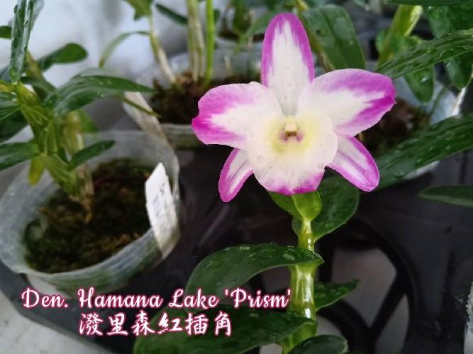 "Орхидея азиатская. Под Заказ! Den. Hamana Lake ""Prism"". Размер: 2.5""."