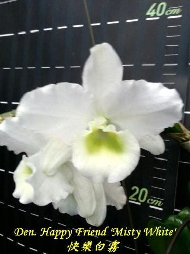 """Орхидея азиатская. Под Заказ! Den. Happy Friend """"Misty White"""". Размер: 30-40cm."""