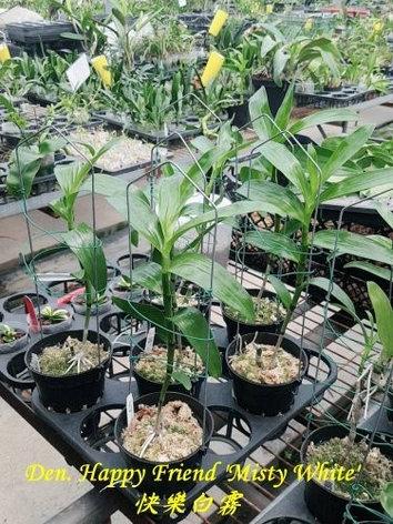 """Орхидея азиатская. Под Заказ! Den. Happy Friend """"Misty White"""". Размер: 30-40cm., фото 2"""