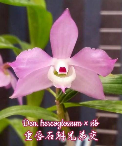 "Орхидея азиатская. Под Заказ! Den. hercoglossum × sib. Размер: 3""."