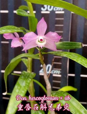 """Орхидея азиатская. Под Заказ! Den. hercoglossum × sib. Размер: 3""""., фото 2"""
