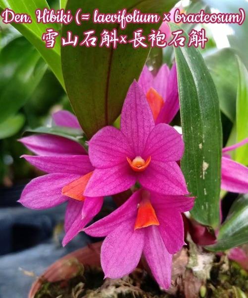 """Орхидея азиатская. Под Заказ! Den. Hibiki (laevifolium × bracteosum). Размер: 2"""" / 2.5""""."""
