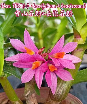 """Орхидея азиатская. Под Заказ! Den. Hibiki (laevifolium × bracteosum). Размер: 2"""" / 2.5""""., фото 2"""