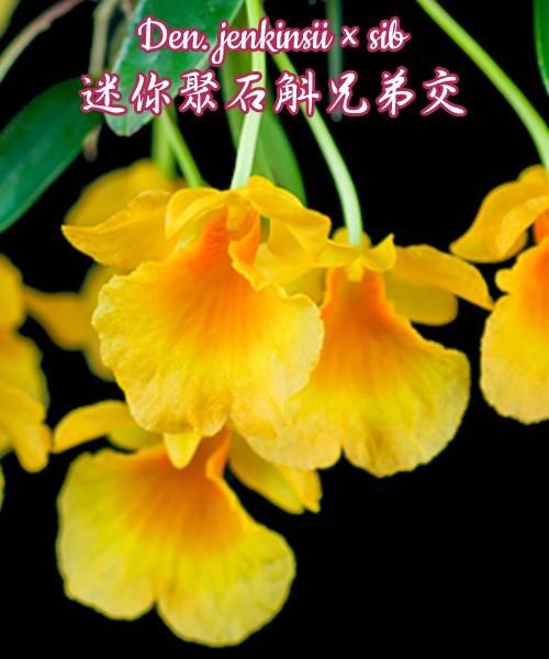 "Орхидея азиатская. Под Заказ! Den. jenkinsii × sib. Размер: 1.7""."