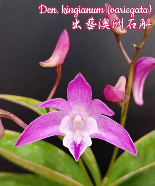 """Орхидея азиатская. Под Заказ! Den. kingianum (variegata). Размер: 2.5""""."""