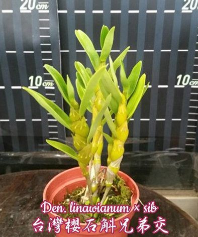 "Орхидея азиатская. Под Заказ! Den. linawianum × sib. Размер: 1.7"" / 3""., фото 2"