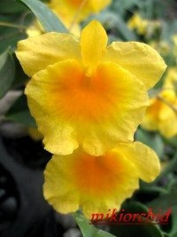 """Орхидея азиатская. Под Заказ! Den. lindleyi × sib. Размер: 2.5""""., фото 2"""