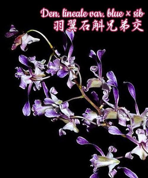 """Орхидея азиатская. Под Заказ! Den. lineale var. blue × sib. Размер: 2.5""""."""