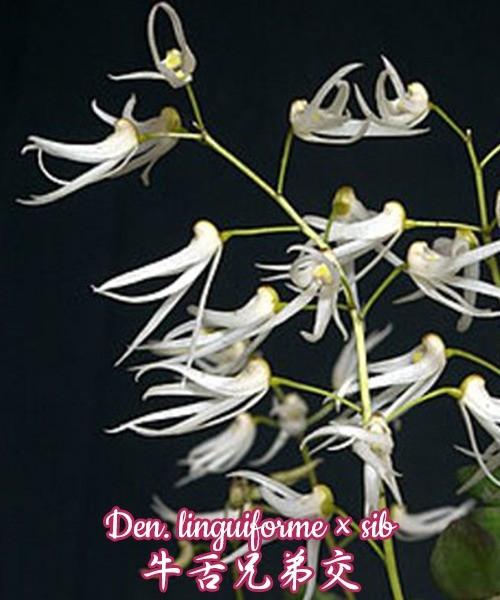 """Орхидея азиатская. Под Заказ! Den. linguiforme × sib. Размер: 1.5""""."""