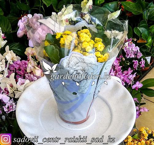 Каланхоэ (в пластиковом транспортировочном горшке, под  стеклом), фото 2