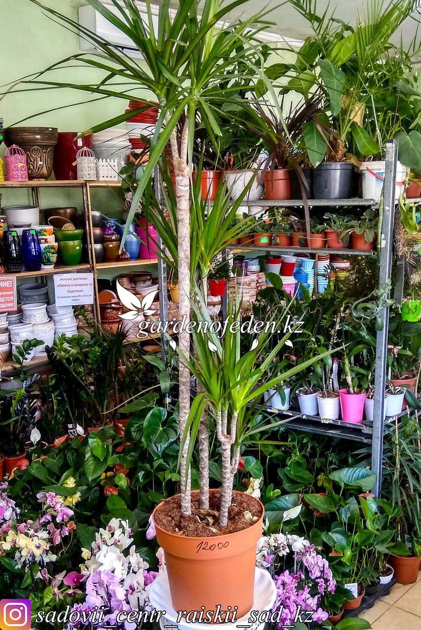 Драцена - комнатная пальма (в пластиковом горшке)