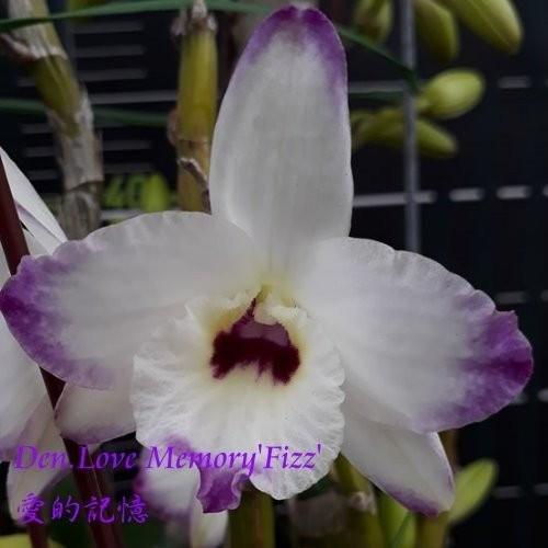 "Орхидея азиатская. Под Заказ! Den. Love Memory ""Fizz"" (A1). Размер: 2.5""."
