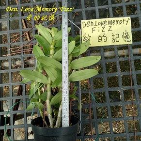 "Орхидея азиатская. Под Заказ! Den. Love Memory ""Fizz"" (A1). Размер: 2.5""., фото 2"