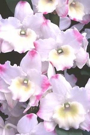 """Орхидея азиатская. Под Заказ! Den. Matterhorn """"Royal Wedding"""" AM/AOS. Размер: 2.5"""" (Large size)."""