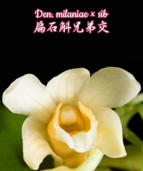 "Орхидея азиатская. Под Заказ! Den. milaniae × sib. Размер: 2""."