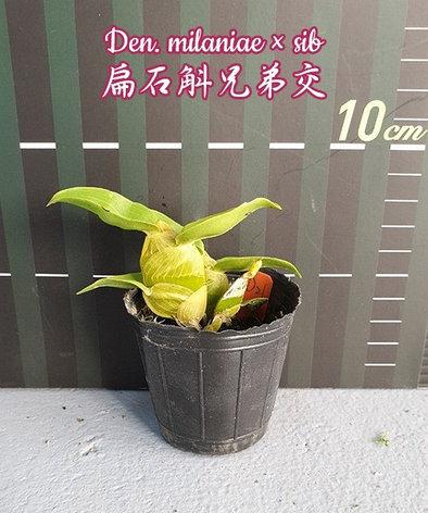 """Орхидея азиатская. Под Заказ! Den. milaniae × sib. Размер: 2""""., фото 2"""