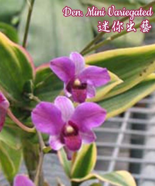 """Орхидея азиатская. Под Заказ! Den. Mini Variegated. Размер: 1.7""""."""