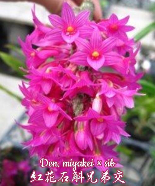 """Орхидея азиатская. Под Заказ! Den. miyakei × sib. Размер: 2.5""""."""