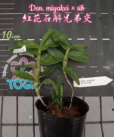 "Орхидея азиатская. Под Заказ! Den. miyakei × sib. Размер: 2.5""., фото 2"