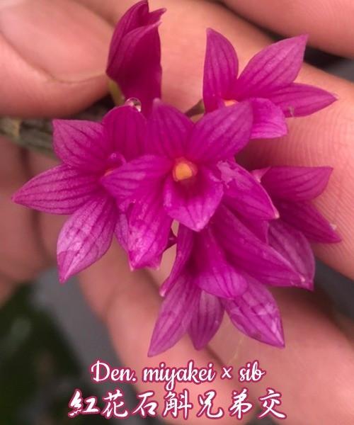 Орхидея азиатская. Под Заказ! Den. miyakei × sib (Philippines). Размер: flask.