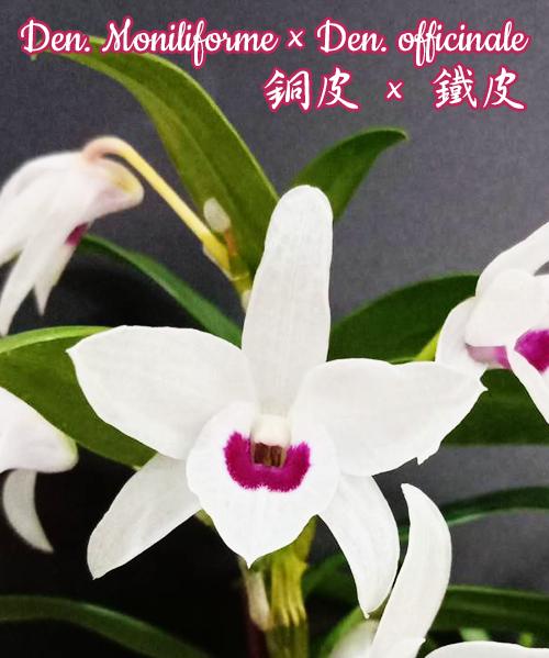 """Орхидея азиатская. Под Заказ! Den. Moniliforme × Den. officinale. Размер: 2.5""""."""