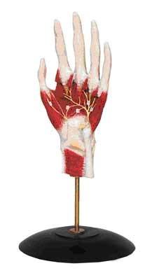 Кисть с прилегающими мышцами и нервами из пластмассы