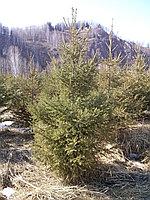 Саженцы хвойных пород деревьев для сада, дачи или парка
