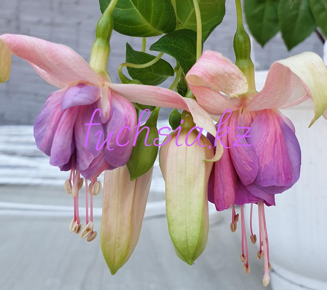 Depardieu / подрощенное растение