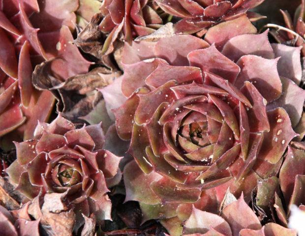Молодило сорт Royal Ruby Листья темно-красные