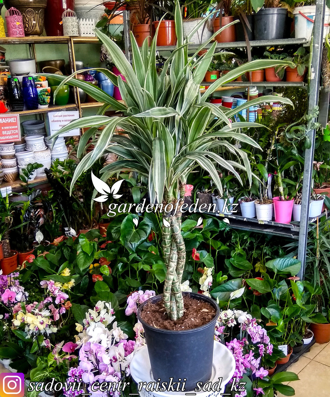 Драцена (Комнатная пальма) (в пластиковом транспортировочном горшке)