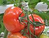 Кистедержатели томатные, тип «улитка» 6мм
