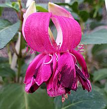 Rubinero / подрощенное растение